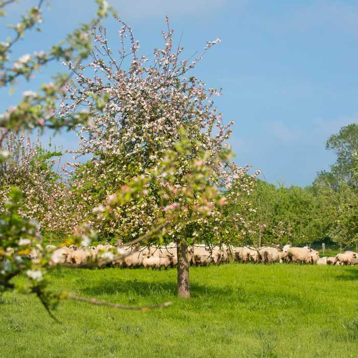 Verger avec moutons Domaine Duclos Fougeray Saint-Michel-d'Halescourt Terroir